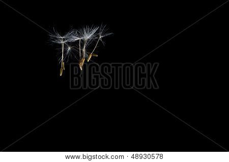 Dandelion Seeds Floating Free