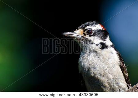 Downy Woodpecker Profile
