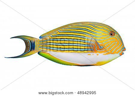 Tropical fish isolated on a white background. The Clown Surgeonfish (Acanthurus lineatus).