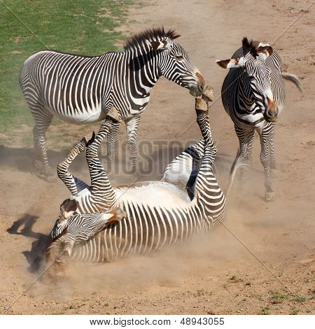 Picture of The Zebra rolling in the dust. Antiparasitic dust bath.