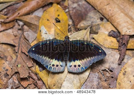 Common Archduke Butterfly