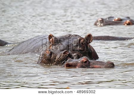 Baby Hippo With Mother