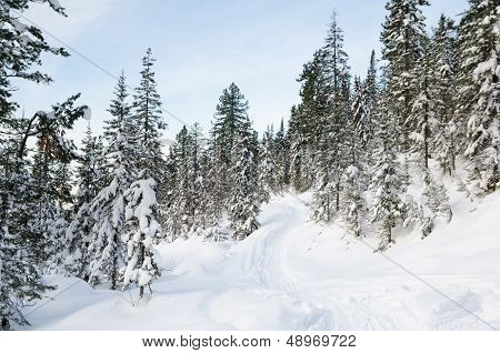 Winter Wild Forest