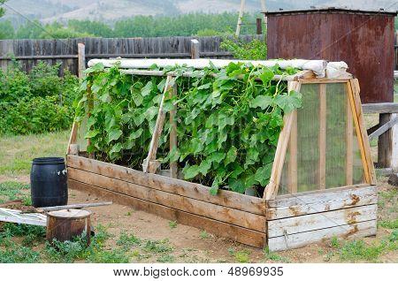 Cucumber Hotbed
