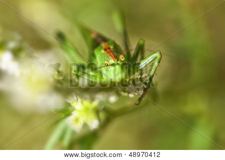 Green grasshopper - super macro
