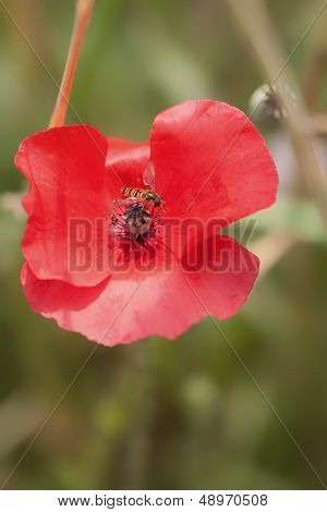 Corn Poppy - hoverfly