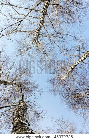 Landscape Forest Birch Trees