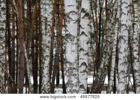 Russian Birchwood