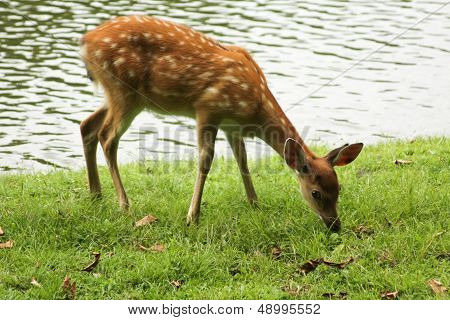 Young Spotted Deer Ate Some Grass While Looking Around Beside The Lake