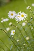 Meadow with marguerite (Leucanthemum vulgare)