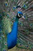 picture of cataract  - A wild peacock shows off it - JPG