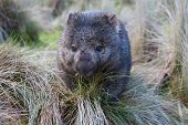 foto of wombat  - A wombat in grassland in Cradle Mountain Tasmania - JPG