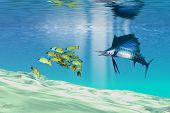 picture of sailfish  - A sailfish hunts prey on a sandy reef - JPG