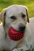 stock photo of golden retriever puppy  - Portrait of a labrador retriever on sun - JPG