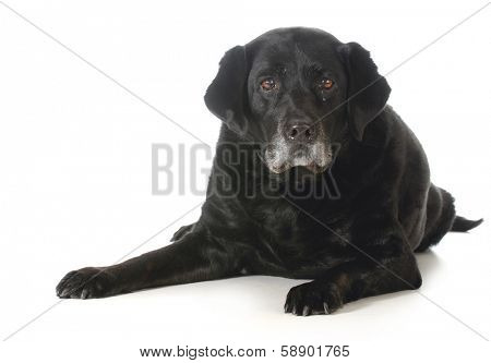 senior dog - black labrador retriever laying down looking at viewer isolated on white background