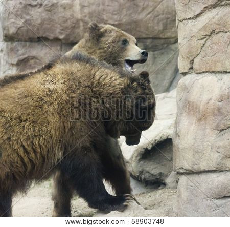 A Grizzly Pair Spar Amongst The Rocks