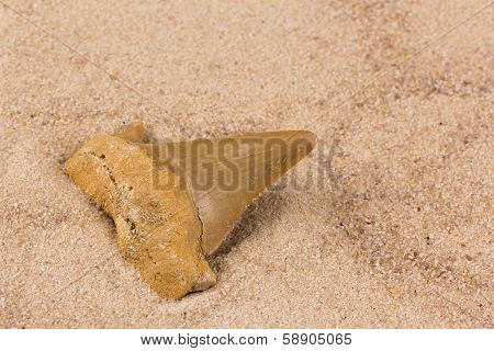 acute fossil shark tooth in the sand
