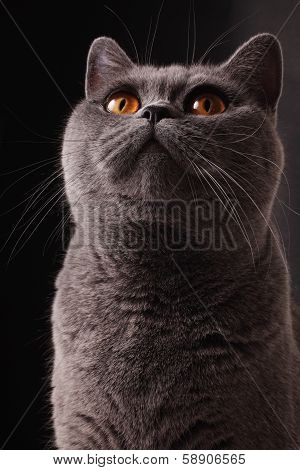 British Gray Cat
