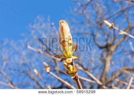 Close Up Bud Of Chestnut Tree