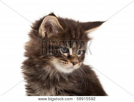 Cute Maine Coon Kitten Portrait