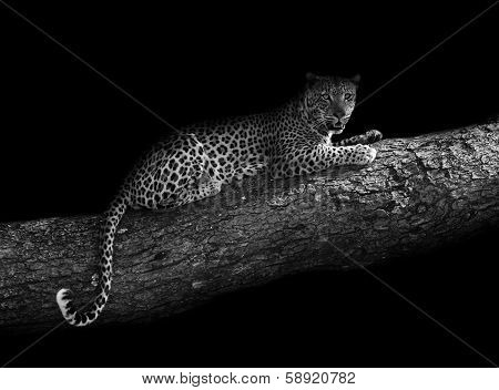 Leopard In A Tree (artistic Edit)