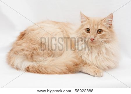Pale Redhead Longhair Cat With Orange Eyes Lies Awkwardly Staring