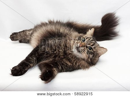 Siberian Striped Cat Lying Coquettishly By Bending Tail
