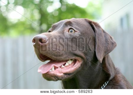 Picture or Photo of Labrador Retriever