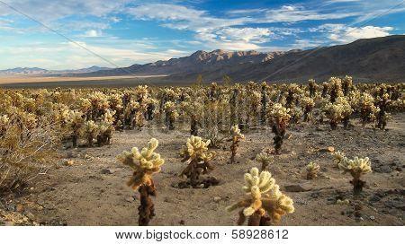 Desert Full Of Cholla Cactus
