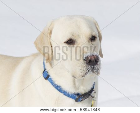 Rudy The Yellow Lab Close Up