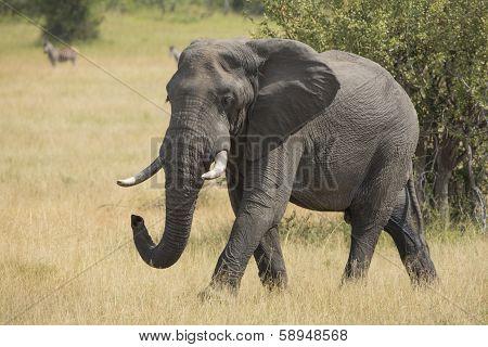 African Elephant (loxodonta Africana) Mala Mala Game Reserve South Africa