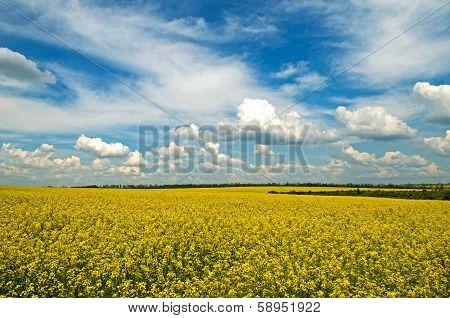 Spring - Rape Field