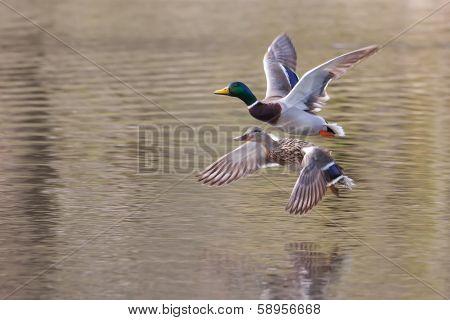 Mallards In Flight In Soft Focus