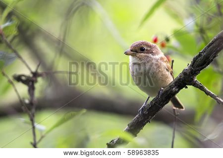 Red-backed Shrike in the wild