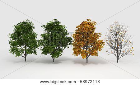 Aesculus Hippocastanum Four Seasons