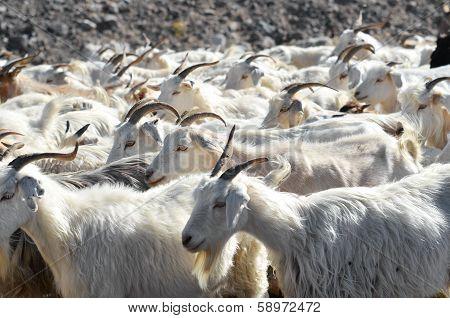 Roaming goats