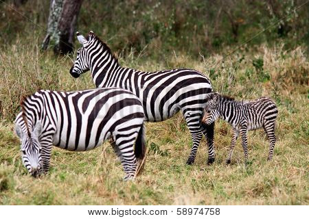 Grevy s zebra in the Masai Mara reserve in Kenya Africa