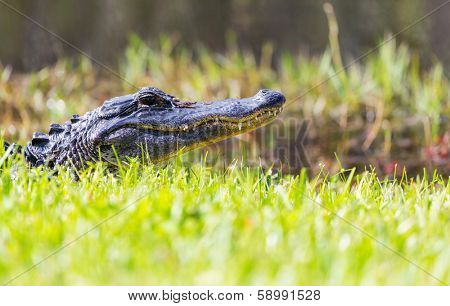 Alligator in Florida