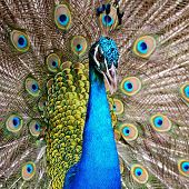 Green Peafowl