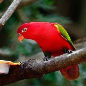 pic of lorikeets  - Lorikeet or Red Lory  - JPG