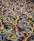 picture of bromeliad  - Close Up Of Bromeliad Plants In The Garden - JPG