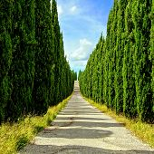 Tree lined Tuscan lane