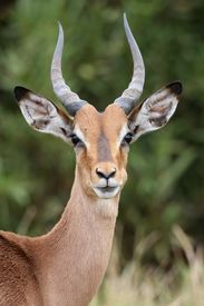 pic of antelope horn  - Young Impala antelope with large ears and horns - JPG
