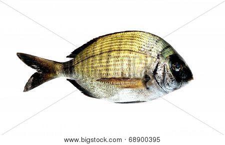 Black Bream Fish