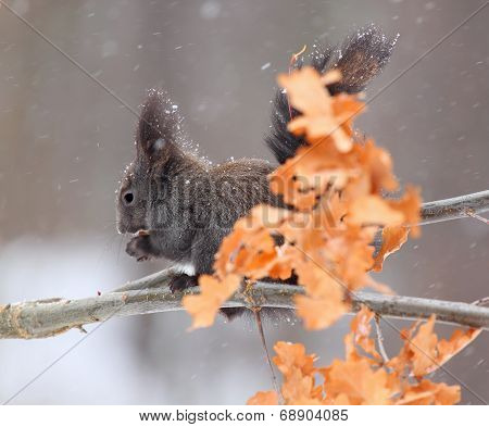 Red Squirrel In Winter, Black Form