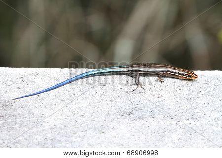 Juvenile Five-lined Skink (plestiodon Fasciatus)