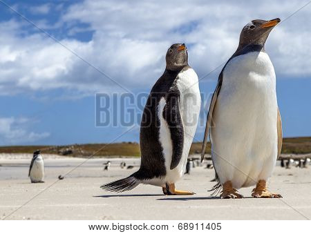 Two Gentoo Penguins At Falklands Islands