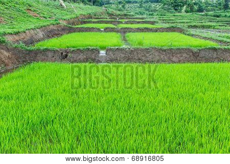 Rice Seedling At Field