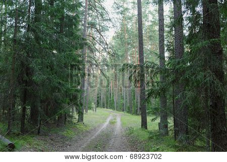 Wild Russian Pine Forest