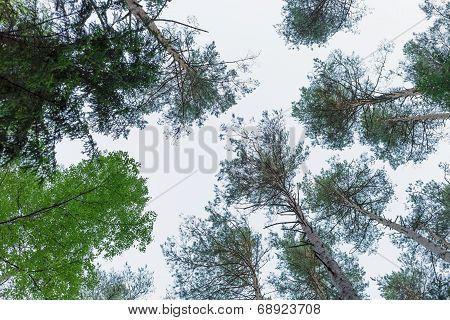 Upwards View In Russian Pine Forest